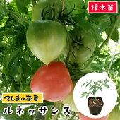 中玉トマト・ルネッサンス