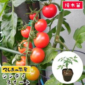 【てしまの苗】 中玉トマト苗 シンディスイート 断根接木苗 9cmポット 野菜苗 培土 種