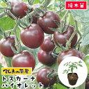 【てしまの苗】 ミニトマト苗 トスカーナバイオレット 断根接木苗 9cmポット 野菜苗 培土 種