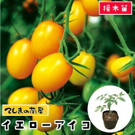 【てしまの苗】 ミニトマト苗 イエローアイコ 断根接木苗 9cmポット 野菜苗 培土 種