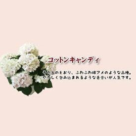 母の日 早割 銀座の紫陽花 コットンキャンディ 5号鉢 あじさい 花鉢 アジサイ 鉢植え 来年 ギフト 送料無料 沖縄+1000円 贈答
