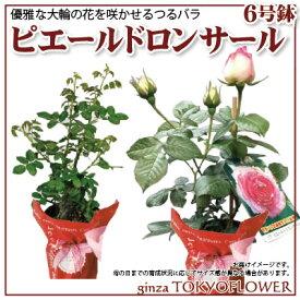 人気 つるバラ ピエールドロンサール 6号 フラワーギフト2021 花鉢 鉢植え 来年 ランキング 送料無料 ギフト お中元 贈答 母の日 早割