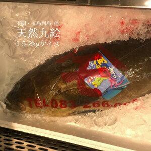 天然クエ 長崎(五島列島)/山口 他 1尾1.5-2kg【九絵1.5-2kg】アラ