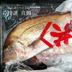 特選 天然真鯛 明石産 1尾1〜1.5kgサイズ 【明石マダイ1-1.5K】冷蔵 豊洲直送