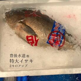 イサキ 1尾約2kg 大分産 他 豊洲直送 伊佐木 鮮魚【高級イサキ2K】 冷蔵