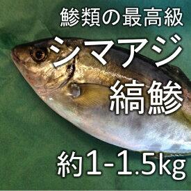 縞鯵 シマアジ(豊洲直送)約1-1.5kg 熊本産他【シマアジ1−1.5K】 冷蔵