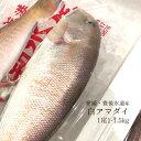 シロアマダイ 豊後水道 1尾1-1.5kg【白川1-1.5kg】シラカワ 白甘鯛 豊洲直送