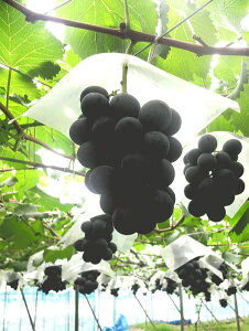 【送料無料】全国農林水産省生産局長賞受賞(令和元年度)巨峰種有り 大人気新品種は冬越し管理した美味しい葡萄です。ぶどうの匠が作るブドウは糖度、酸味、旨みの極上の逸品です。2