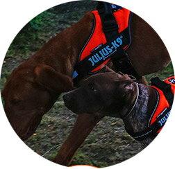 2016-2017カラー ハーネス 犬 小型犬 中型犬 犬用 胴輪 IDCパワーハーネス Mini Mini・Mini 胸囲40-67cm 全21色 Julius-K9 ユリウスケーナイン 犬用ハーネス [ゆうパケット送料無料][取り寄せ可能]