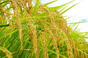 新潟県産特別栽培米コシヒカリ10kg新潟県特別栽培農産物認証をもらっている特別なコシヒカリです!精米(白米)してお届けします【頑張って送料無料!】