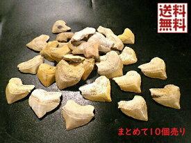 サメの歯 化石 10個セット売り 鮫の歯  corax Shark teeth fossils モロッコ産 送料無料