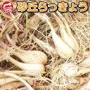 鳥取県産 砂丘らっきょう 1kg 生らっきょう 砂付き 根付き 茎付き 数量限定 大きさ不揃い 浜田園 らくだ 福部産 種 苗…