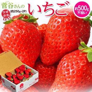 『菅谷さんのいちご』 茨城県産 お試し不揃い 1箱 約500g (約250g×2P) ※冷蔵 送料無料