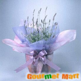 早割 送料無料!母の日ギフト!ラベンダー鉢植え(鉢花)ハーブの香りが爽やか!ラッピングしてお届けします
