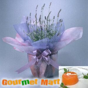 早割 送料無料!母の日ギフト!ラベンダー鉢植え(鉢花)と夕張メロンピュアゼリーセット!母の日定番のお花をラッピングしてお届けします