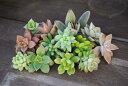 期間限定特価【寄せ植え】に最適!多肉植物 カット苗  10種類10本セット