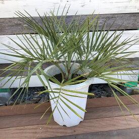 ココスヤシ A1 ヤシ 現物販売 送料無料 観葉植物 南国風 インテリア