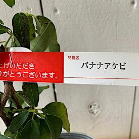 アケビ 苗木 バナナアケビ 12cmポット苗 あけび 苗 gv