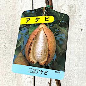 アケビ 苗木 三葉アケビ 12cmポット苗 みつばアケビ あけび 苗 gv