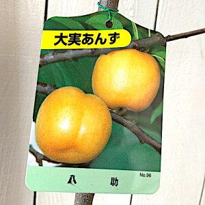 アンズ 苗木 八助 13.5cmポット苗 あんず 苗 杏 gv