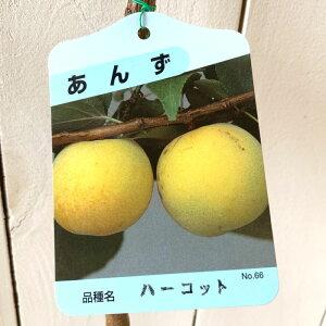 アンズ 苗木 ハーコット 13.5cmポット苗 あんず 苗 杏 gv