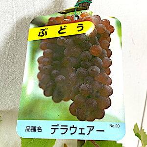 ぶどう 苗木 デラウェア 12cmポット苗 ブドウ 苗 葡萄 gv