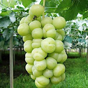 ぶどう 苗木 瀬戸ジャイアンツ 接木苗 13.5cmポット苗 ブドウ 苗 葡萄