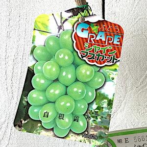 ぶどう 苗木 シャインマスカット (PVP) 12cmポット苗 自根苗 ブドウ 苗 葡萄 gv