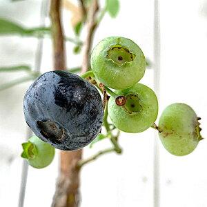 ブルーベリー 苗木 エリザベス 13.5cmポット苗 ノーザンハイブッシュ系 ブルーベリー 苗 gv