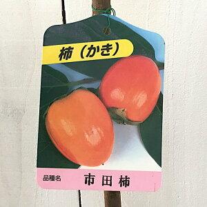 渋柿 苗木 市田柿 12cmポット苗 いちだがき カキ 苗 かき gv