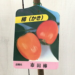 渋柿 苗木 市田柿 12cmロングポット苗 いちだがき カキ 苗 かき gv