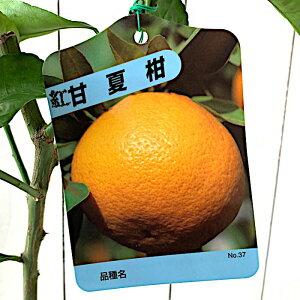 みかん 苗木 紅甘夏 13.5cmポット苗 べにあまなつ ミカン 苗 蜜柑 gv
