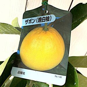 文旦 ざぼん 苗木 晩白柚 13.5cmポット苗 ばんぺいゆ ブンタン ザボン 苗