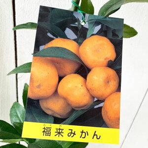 みかん 苗木 福来みかん 13.5cmポット苗 ふくれみかん ミカン 苗 蜜柑 gv
