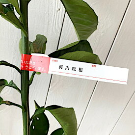 文旦 ざぼん 苗木 河内晩柑 13.5cmポット苗 かわちばんかん ブンタン ザボン 苗 gv