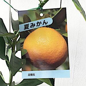 みかん 苗木 夏みかん 13.5cmポット苗 ミカン 苗 蜜柑 gv