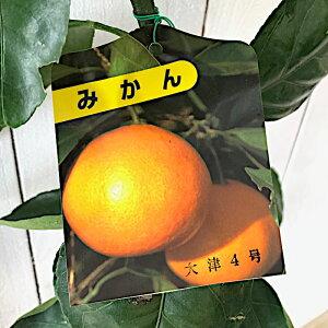 みかん 苗木 大津4号 13.5cmポット苗 おおつ4ごう ミカン 苗 蜜柑 gv