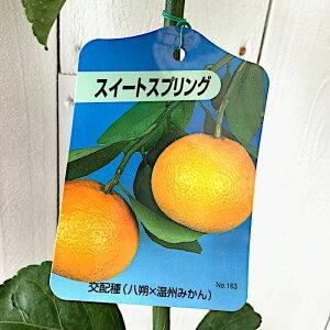 みかん 苗木 スイートスプリング 13.5cmポット苗 ミカン 苗 蜜柑 gv