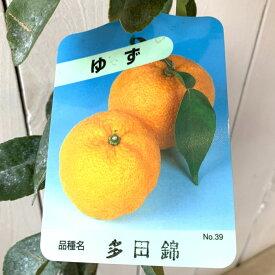 ゆず 苗木 多田錦 13.5cmポット苗 ただにしき ユズ 苗 柚子 gv
