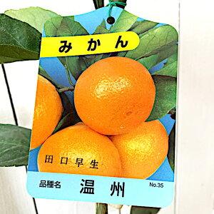 みかん 苗木 田口早生 13.5cmポット苗 たぐちわせ ミカン 苗 蜜柑 gv