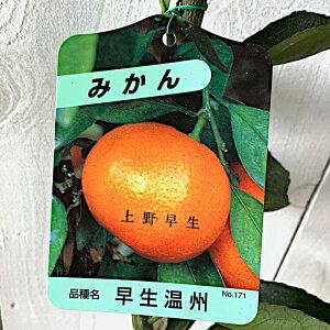 みかん 苗木 上野早生 13.5cmポット苗 うえのわせ ミカン 苗 蜜柑 gv