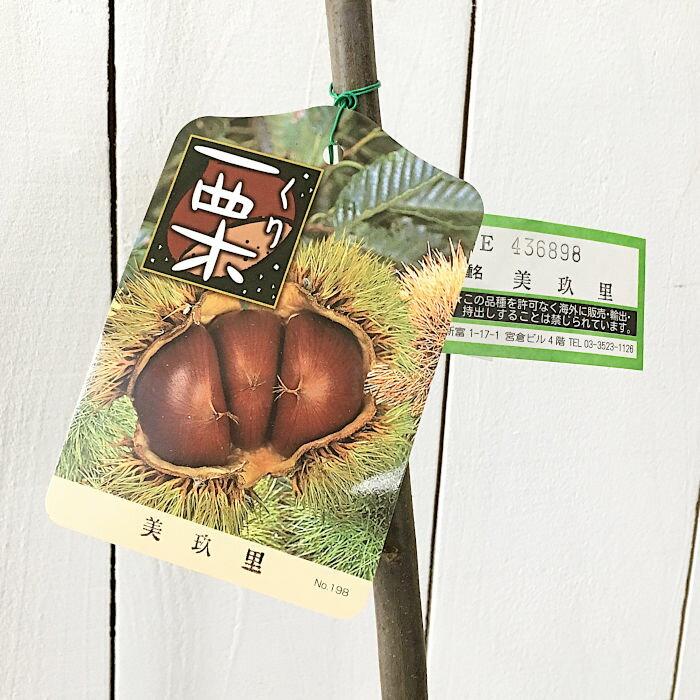 栗 苗木 美玖里 (PVP) 13.5cmポット苗 みくり くり 苗 クリ gv
