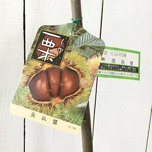 栗 苗木 美玖里 (PVP) 13.5cmポット苗 みくり くり 苗 クリ