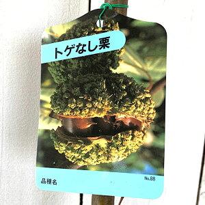 栗 苗木 とげなし栗 12cmポット苗 くり 苗 クリ gv