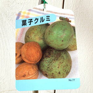 クルミ 苗木 菓子くるみ 12cmポット苗 くるみ 苗 胡桃 gv