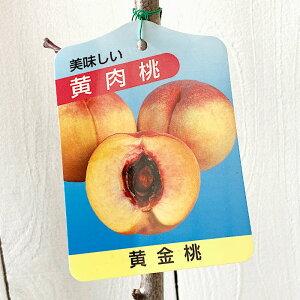 桃 苗木 黄金桃 12cmポット苗 おうごんとう もも 苗 モモ gv