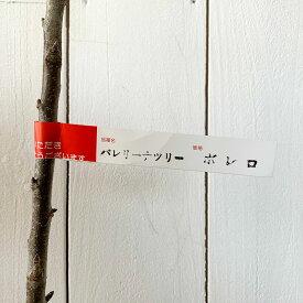 バレリーナツリー 苗木 ボレロ 15cmポット苗 バレリーナツリー 苗 gv