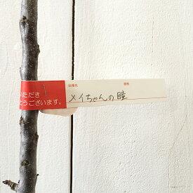 バレリーナツリー 苗木 メイちゃんの瞳 (PVP) 15cmポット苗 バレリーナツリー 苗 gv