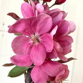 バレリーナツリー 苗木 メイポール 15cmポット苗 バレリーナツリー 苗 gv
