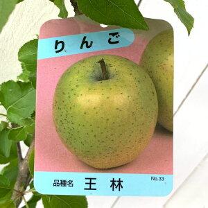 リンゴ 苗木 王林 12cmポット苗 おうりん りんご 苗 林檎 gv